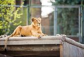 Hermosa leona — Foto de Stock