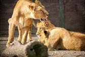 Löwin mit ihren jungen — Stockfoto