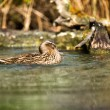 Duck on the water — Stock Photo #47494205