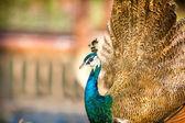 Proud beautiful Peacock  — Foto de Stock