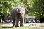 Elephant walking on green grass — Foto de Stock