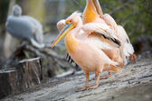 Great white pelican with open wings — Stock Photo