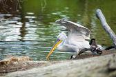 Pelican fishing — Stock Photo