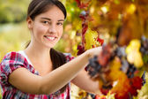 Grape picker — Stock Photo
