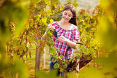 Grape picker in vineyard — Stock Photo