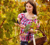 Female grape picker — Stock Photo