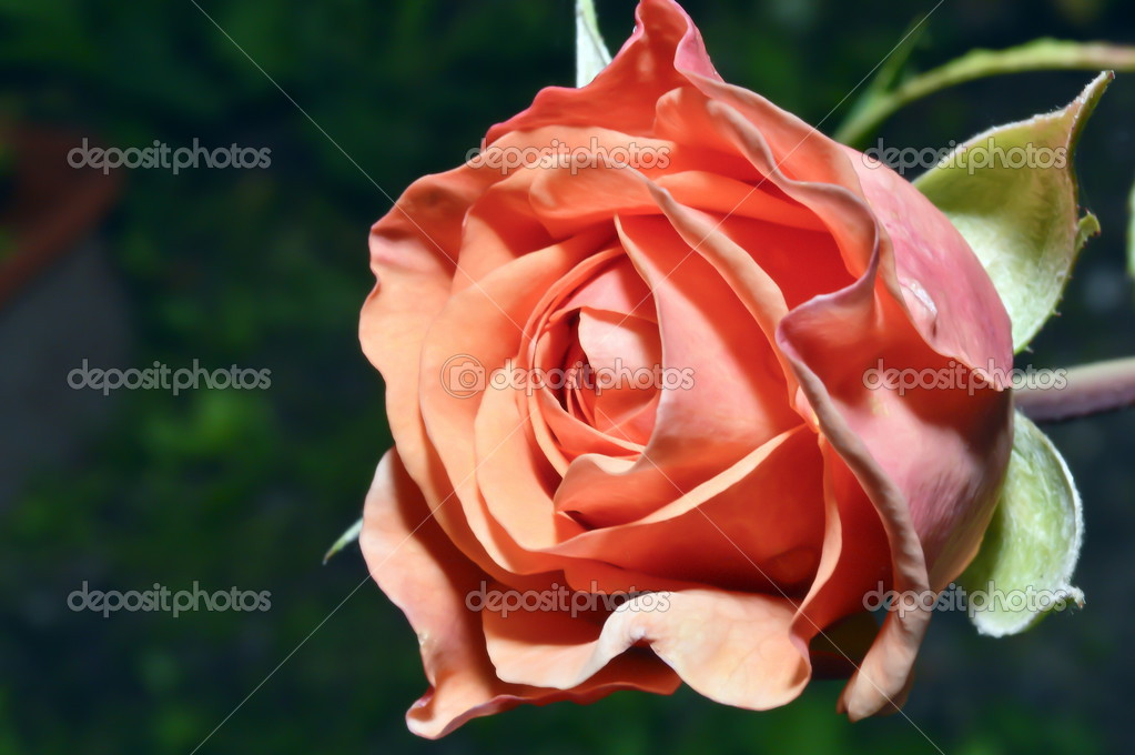 Rose beautiful — Stock Photo #12703830