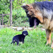 German shepherd dog and puppy - Stock Photo