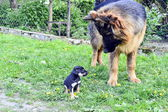 German shepherd dog and puppy — Stok fotoğraf