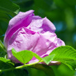 Flower of wild rose — Stock Photo