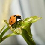 Ladybug on a leaf — Stock Photo