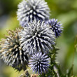 Echinops bannaticus — Stock Photo