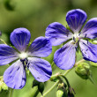 Meadow Cranes-bill Flowers Geranium — Stock Photo #28728715