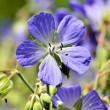 Meadow Cranes-bill Flowers Geranium — Stock Photo