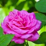 Beautiful Rose — Stock Photo #29528507