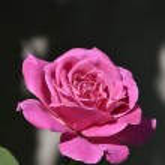 Beautiful Rose — Stock Photo #29655483