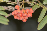 Red rowan fruits — Stock Photo