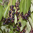 Stock Photo: Bird Cherry
