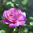Stock Photo: Beautiful Rose