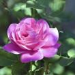 Beautiful Rose — Stock Photo #30502967