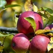 Stock Photo: Autumn apples on tree