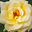 Yellow roses — Stock Photo #38189737