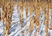 玉米地里 — 图库照片