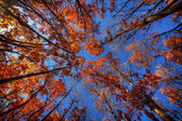 Foliage in the fall, view from below — Stock Photo