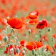 Field with poppies — Stock Photo #48525281