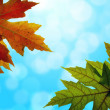 Stock Photo: Maple Leaves Mixed Fall Colors with Blue Sky
