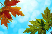 Maple Leaves Mixed Fall Colors with Blue Sky — Stock Photo