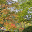 Tall Upright Japanese Maple Tree in Fall — Stock Photo