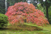 Old Japanese Maple Tree in Autumn — Stock Photo