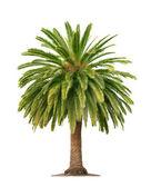 Beyaz arka plan üzerinde palmiye — Stok fotoğraf