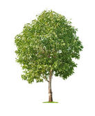 Tree on white background — Stock Photo