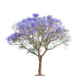 Beautiful blooming Jacaranda tree — Stock Photo