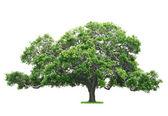 Tree on white background — Stock Photo