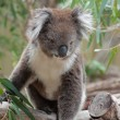 Native AustraliKoala — Foto de stock #24948305