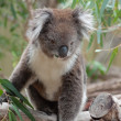 Foto de Stock  : Native AustraliKoala