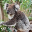 Native Australian Koala — Stock Photo