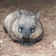 Native australian Wombat - Stock Photo