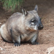 Native australian Wombat — Stock Photo