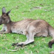 Native Australian kangaroo — Stock Photo #24948801