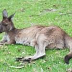 Native Australian kangaroo — Stock Photo