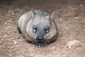 Native australian Wombat — Stock Photo