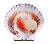 Fresh opened scallop — Stock Photo