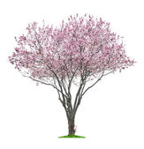 Pink sacura tree — Stock Photo
