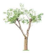 Old pruned tree — Stock Photo