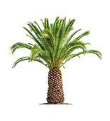Palm on white background — Stock Photo