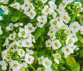 Sweet Alyssum flowers  — Foto de Stock